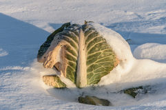 Cabbage amid the snow. Cabbage on a snow-covered field Stock Photo