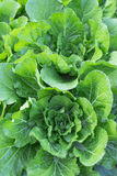 Cabbage Background Royalty Free Stock Images