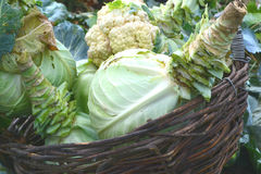 Cabbage in a basket. Collect autumn harvest stock photography