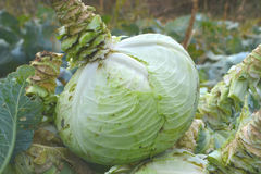 Cabbage in a basket. Collect autumn harvest royalty free stock photo