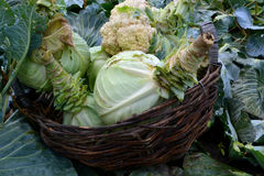 Cabbage in a basket. Collect autumn harvest royalty free stock image