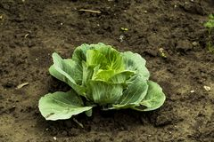 Cabbage on bed royalty free stock photo