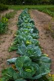 Cabbage beds in a vegetable garden in a village, a farm, growing vegetables, harvesting stock photos