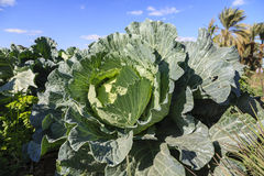 The Cabbage Royalty Free Stock Photo