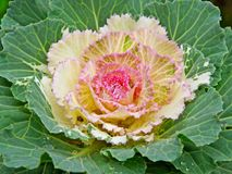 Cabbage Blossom Stock Photos