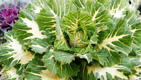 Cabbage Brassica oleracea Brassicaceae in Garden royalty free stock photography