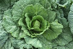 Cabbage Brassica oleracea Royalty Free Stock Images