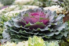 Cabbage (brassica oleracea). Plant leaves Stock Photo