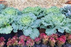 Cabbage (brassica oleracea) plant leaves Stock Photos
