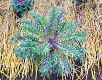 Cabbage (brassica oleracea) plant leaves. Close up of Cabbage (brassica oleracea) plant leaves Royalty Free Stock Image