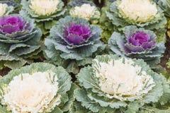 Cabbage (brassica oleracea) plant leaves. Close up of Cabbage (brassica oleracea) plant leaves Stock Image
