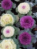 Ornamental cabbage. Purple and white ornamental cabbage in autumn Royalty Free Stock Photo
