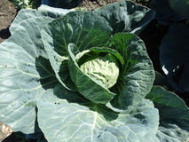 Cabbage, Brassica oleracea var. botrytis. Vegetable crop with large vegetative bud surrounded by opened leaves, used in salads and cooked vegetable stock images