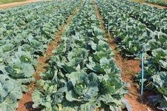Cabbage, brassica oleracea var capitata. Stock Image