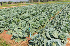 Cabbage, brassica oleracea var capitata is a leafy green plant,. Grown as an annual vegetable crop for its dense-leaved heads, agriculture Royalty Free Stock Photo