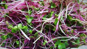 Nutritious Microgreen Mixture Royalty Free Stock Image