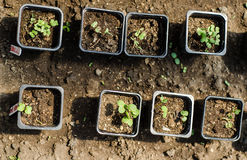 Cabbage and broccoli seedlings Stock Photo