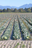 Cabbage Bumper Crop Stock Photos