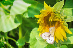 Cabbage butterflies on sunflower Stock Images