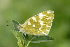Cabbage butterfly. A cabbage butterfly lands on leaves Stock Photo