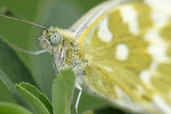 Cabbage butterfly. The head close-up of cabbage butterfly Royalty Free Stock Image