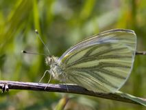 Cabbage butterfly. Sting on a grass stalk Stock Photography