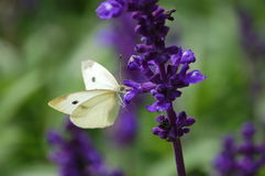 Cabbage butterfly Stock Photos
