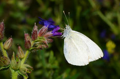 Cabbage butterfly Royalty Free Stock Image