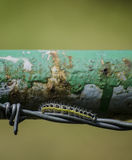Cabbage butterfly caterpillar Stock Images
