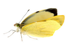 Cabbage butterfly in closeup Stock Image