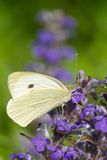 Cabbage butterfly closeup on a blue flower. vertical Stock Images