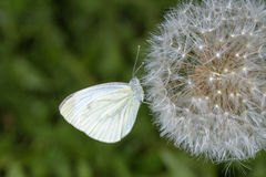 Cabbage butterfly Royalty Free Stock Images