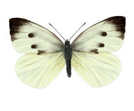 Cabbage butterfly stock illustration