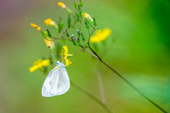 Cabbage butterfly drinking on yellow flower Royalty Free Stock Photo