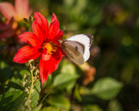 Cabbage butterfly feeding on flower. Royalty Free Stock Photo