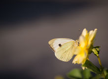 Cabbage butterfly feeding on flower. Stock Photography