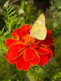 Cabbage butterfly on flower. Beautiful natural floral background representing cabbage butterfly feeding on marigold flower Stock Photos