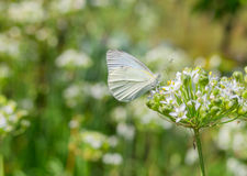 Cabbage butterfly on a flowering dill at summer season Stock Photography
