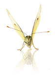 Cabbage Butterfly isolated on the white background Royalty Free Stock Photos