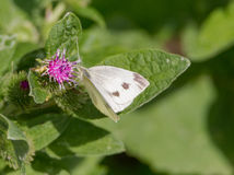 Cabbage butterfly Stock Images