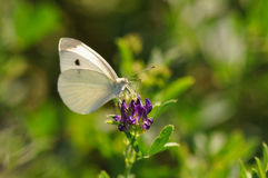 Cabbage butterfly Royalty Free Stock Photos