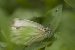 Cabbage butterfly Stock Image