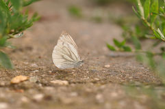 Cabbage butterfly Royalty Free Stock Photography