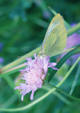 The Cabbage Butterfly Royalty Free Stock Photography