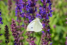 Cabbage butterfly Pieris brassicae butterfly sucking nectar. On a wild sage flower royalty free stock image