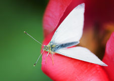 The Cabbage Butterfly Royalty Free Stock Image