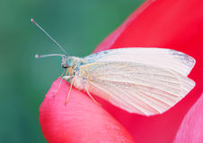 The Cabbage Butterfly Royalty Free Stock Photos