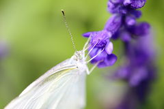 Cabbage butterfly on a purple sage Royalty Free Stock Photography