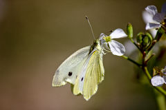 Cabbage butterfly on radish flower. A big cabbage butterfly taking pollen from a radish plant royalty free stock images