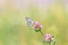 Cabbage butterfly on a red clover Stock Photos